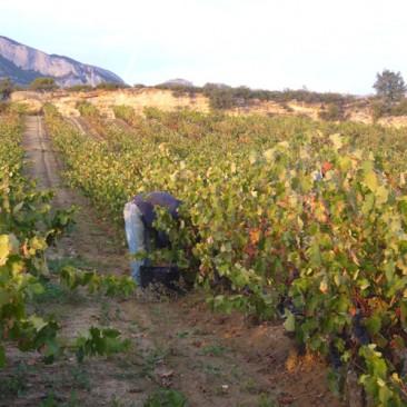 Berarte - Trabajando en el viñedo